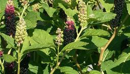 Växt med gröna blad och en stängel med små svarta bär.