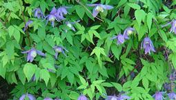 Klängväxt med gröna blad och lila blommor.