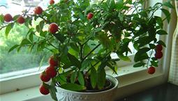 Krukväxt med gröna blad och röda bär.
