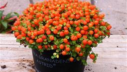 Krukväxt med små gröna blad och många små röda bär.