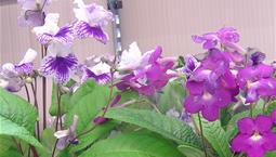 Krukväxt med stora lite ludna blad och stora lila blommor.