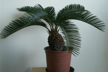 Krukväxt med kraftig kotteliknande stjälk och palmliknande blad.