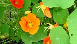 Stora gröna runda blad och gula, orangea och röda blommor