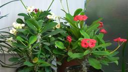Krukväxt med gröna blad, röda blommor.