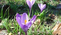 Vårblomma, lökväxt med tunna smala blad och lila blomma.