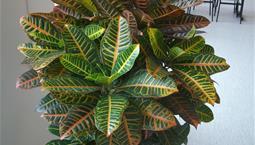 Krukväxt med spräckliga blad