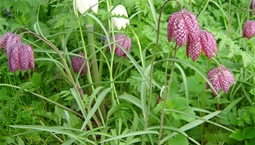Lila och vita blommor i gräset