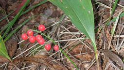 Grönt blad med liten klase med röda bär
