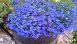 Kruka med många små blå blommor
