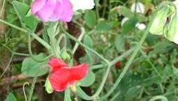 Klättrande växt med olikfärgade blommor