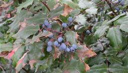 Buske med glansiga blad och blå bär