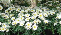 Vita blommor med gult i mitten