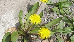 Gul blomma med gröna blad mot husvägg
