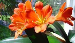 Stora orangea blommor på krukväxt