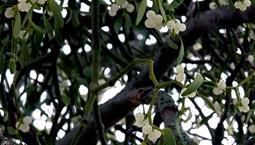 Vita bär på växt i ett träd