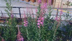 Grön växt med rosa blomkolvar