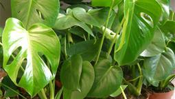 Grön växt med stora flikiga blad