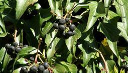 Grön klätterväxt med klasar med blåsvarta bär