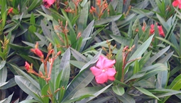 Krukväxt med gröna lansettlika blad och rosa blommor.