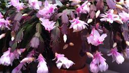 Krukväxt med hängande ledade gröna blad och rosa blommor.