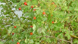 Taggig buske med röda stora bär.
