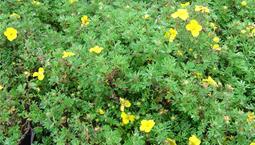 Buskväxt med gula blommor.