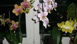 Växt med gröna blad och rosa och vita blommor på en hög stjälk.