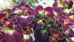 Tvåfärgade blad i lila och grönt.