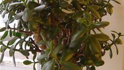 rukväxt som ser ut som ett litet träd.