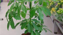 Krukväxt med gröna flikiga blad