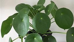 Krukväxt med stora runda gröna blad