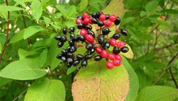 Träd med gröna blad och röda och svarta bär i klase.