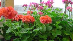 Krukväxt med gröna blad och röda blomklasar.