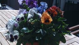 Krukväxt med gröna blad och blå, röda eller lila blommor.