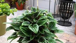 Krukväxt med grönbrokiga blad och en vit blomkolv på en stjälk.