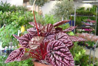 Krukväxt med vinröda knöggliga bald, blomman som en vit kolv på en stängel.