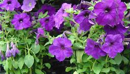 Växt med gröna blad och lila blommor.