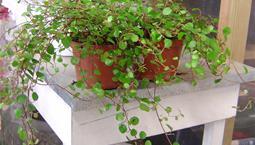 Hängväxt med små runda blad.