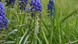 Växt med med klasar av små blå blommor