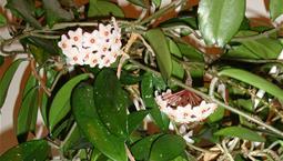 Klängväxt med gröna blanka blad och vita blomklasar.
