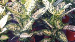 Krukväxt med gröngulbrokiga stora blad.