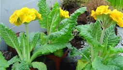 Växt med gröna ludna blad och gula blommor.