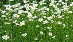 Växt med gröna tunna blad och vit blomma med gul rundel i mitten.