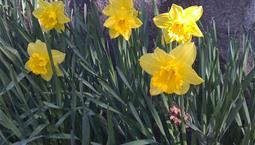 Växt med fröna blad och gul blomma.