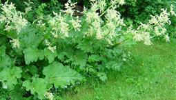 Stora blad med vita blomstänglar