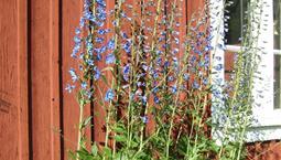 Hög växt med långa blå blomstänglar
