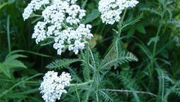 Växt med vita blommor i flock