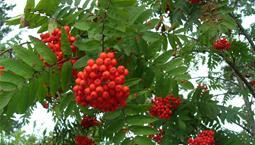 Träd med flickiga blad och oreanga bärklasar