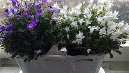 Två krukväxter med gröna blad, en med blå och en med vita blommor