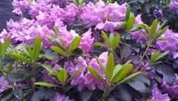 Grön buske med stora rosa blommor